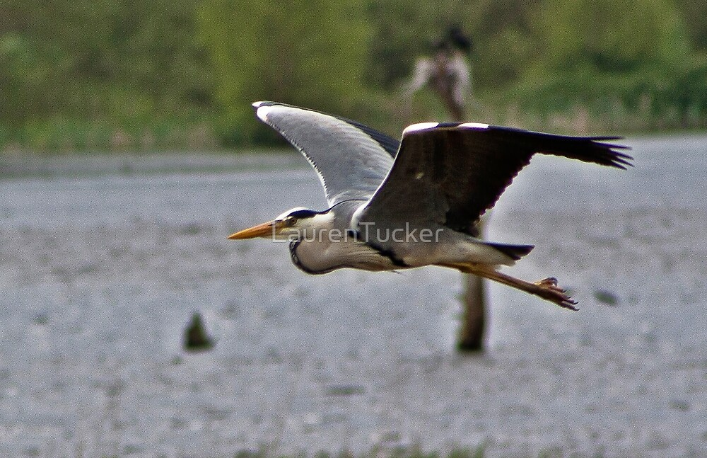 Grey Heron in flight.. by Lauren Tucker