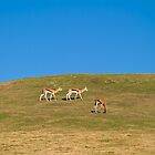 Thomson's gazelle on a hill by corsefoto