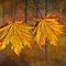 Two YellowOrange Fall Leaves  by Randall Nyhof