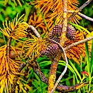 Colorful Pine Cones and needles by Randall Nyhof