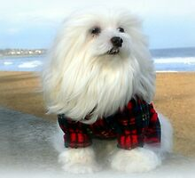 Snowdrop, the Scottish Maltese by Morag Bates