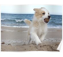 Border Collie Puppy on the Beach Poster