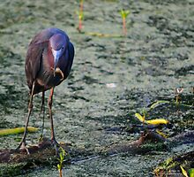 Blue Heron At Breakfast by Diego  Re
