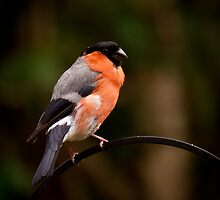Bully The Bullfinch/Pyrrhula Pyrrhula by Chrissie Taylor