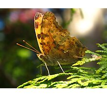 An exclamation in this Eastern Comma Polygonia Photographic Print