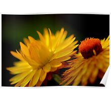 Yellow Straw Flowers in Light  Poster