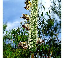 Butterflies & Blackboys... Photographic Print