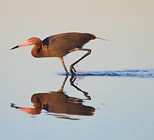 Reddish Egret at First Light Reflection. by Daniel Cadieux