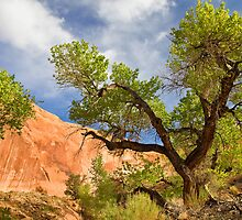Willow Gulch Cottonwood by Kim Barton