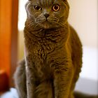 Scottish Fold Cat by Debbie-anne