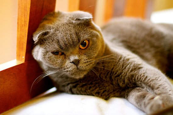 "Angry Scottish Fold Cat - ""Go on just try me"" by Debbie-anne"