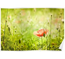 Poppy in summer green  Poster
