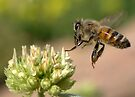 HONEY BEE IN FLIGHT by Betsy  Seeton