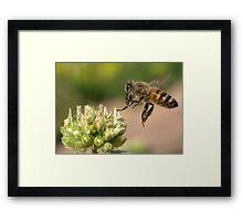 HONEY BEE IN FLIGHT Framed Print