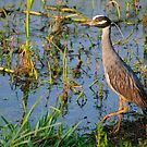 Cautious Yellow Crowned Night Heron by Diego Re
