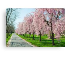 Cherry Blossoms! Canvas Print