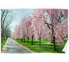 Cherry Blossoms! Poster