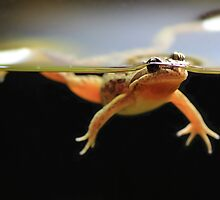 Frog in a pond .Spotted Marsh Frog by Donovan wilson