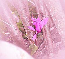 Ciclamen in pink by Margherita Bientinesi