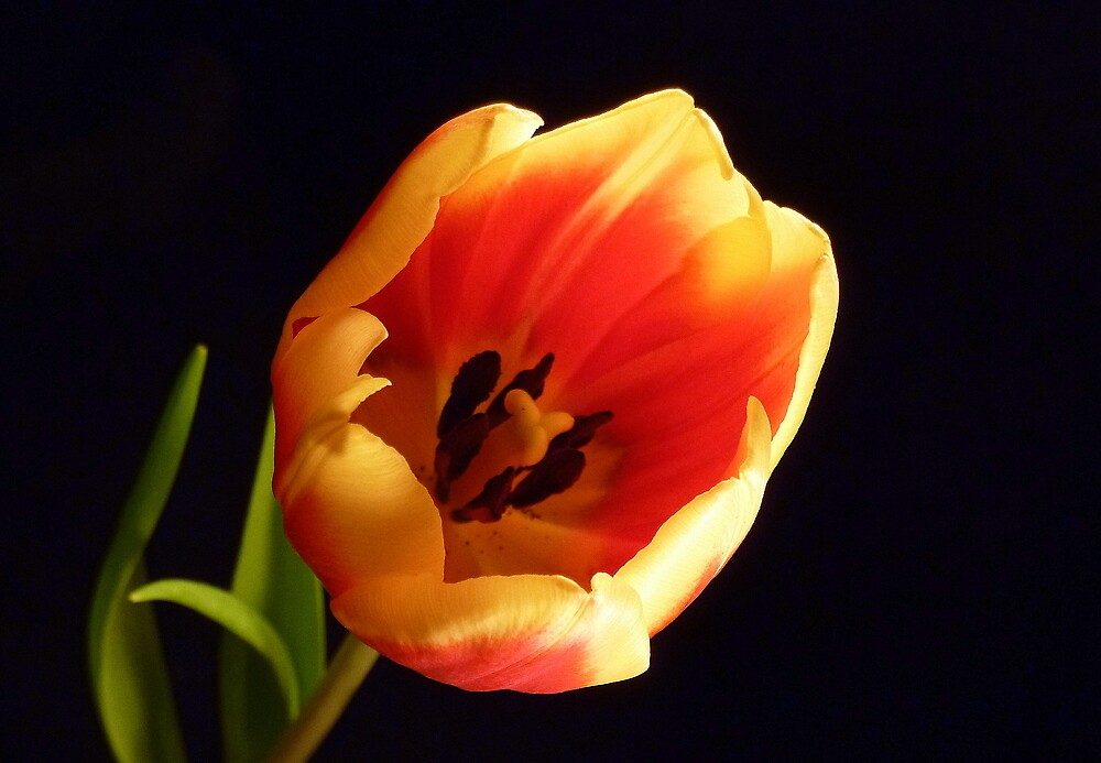 Tulip by Lisa Kent