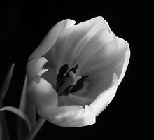 Subdued Tulip by lisa1970