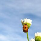 Ladybug Pupa - Daily Homework - Day 3 - May 9, 2012 by aprilann