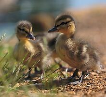 Ducklings by Photokes