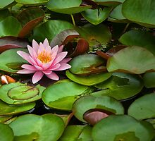 Lily Pads and Blossoms No 204 by Randall Nyhof
