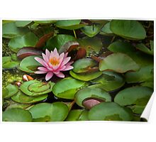 Lily Pads and Blossoms No 204 Poster
