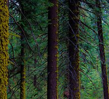 Sequoia Forest, California by Dean Bailey