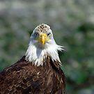 Eagle portrait by Al Williscroft