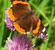 The Admiral On Chives by lorilee