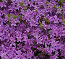 New England azalea in bloom by kalitarios