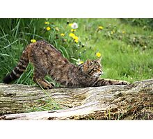 Scottish Wildcat Photographic Print