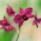 Orchid Purple by gregAllore
