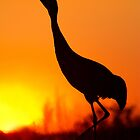 Sandhill Crane Calling During Sunset. by Daniel Cadieux