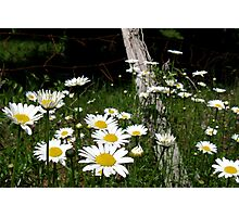 Daises On Fence Photographic Print
