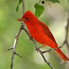 Summer tanager best side by levipie