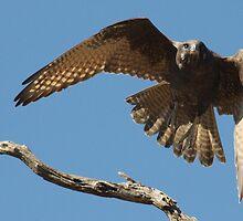 Falcon Flight 2 by Phillip Weyers