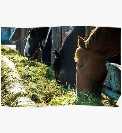 Horses Feeding Poster