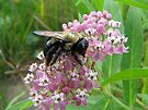 Sated on Purple Butterfly Weed by Ron Russell