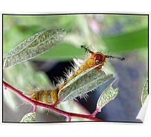 Tussock Moth Grub Poster