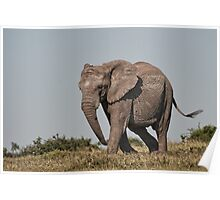 African Elephant – Loxodonta african on a Mission Poster