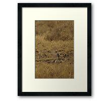 Jackal Peaking Framed Print