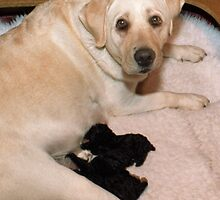Labrador Foster Mother with Poodle Pups by Bev Pascoe
