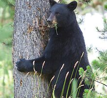 Mama bear calling her 3 kids out of the tree by Jim Stiles