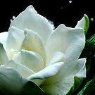 Gardenia Garden by Janice Carter