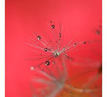 Droplets in dandelion Photographic Print