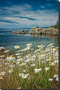 Daisies on Maine&#x27;s Acadia Shoreline by Randall Nyhof