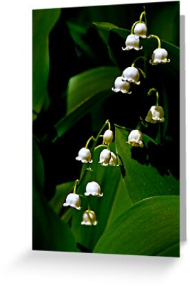 Lily of the Valley by cclaude